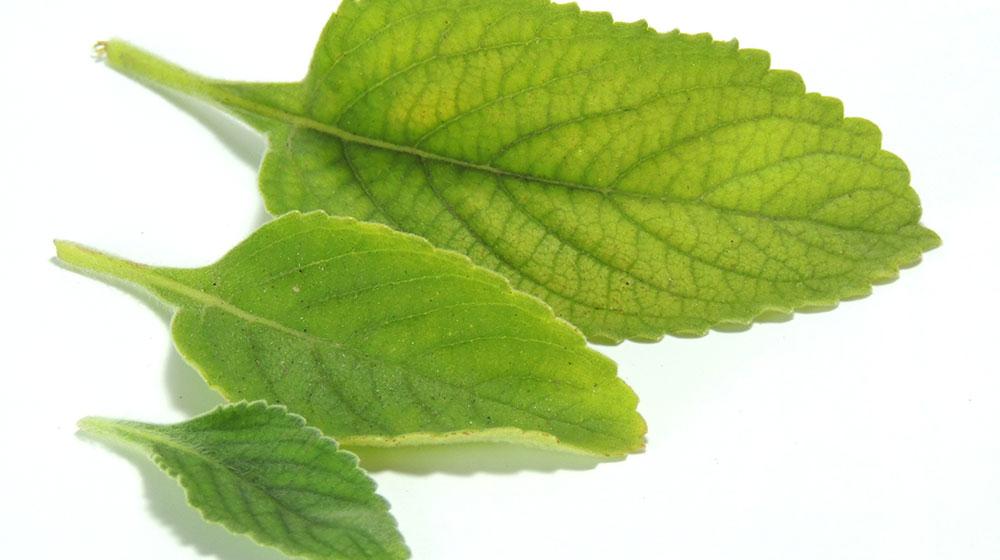 22 Beneficios del té de boldo realmente increíbles