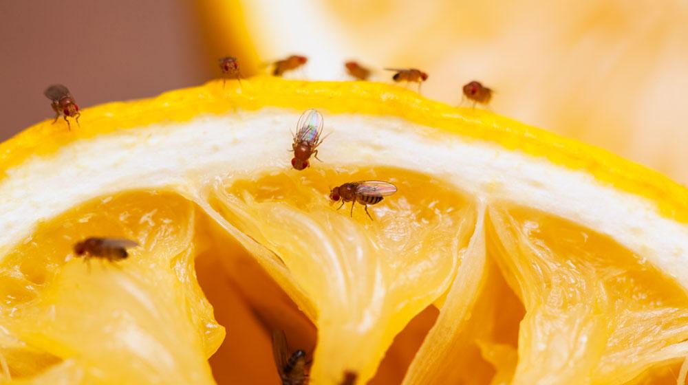 Cómo Eliminar Los Mosquitos De Fruta Fácilmente Cocina Fácil