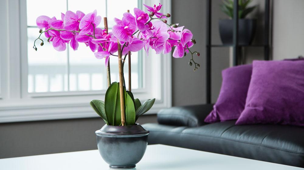 orquídeas moradas