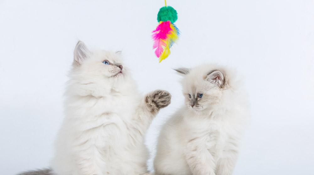 gatos-juagando