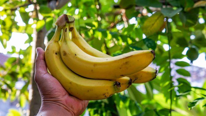 platano-fruta-tropical-amarillo-arbol-saludable