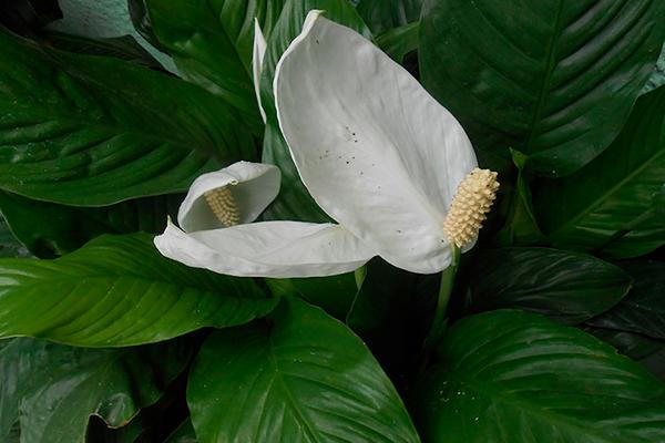 anturios: plantas resistentes