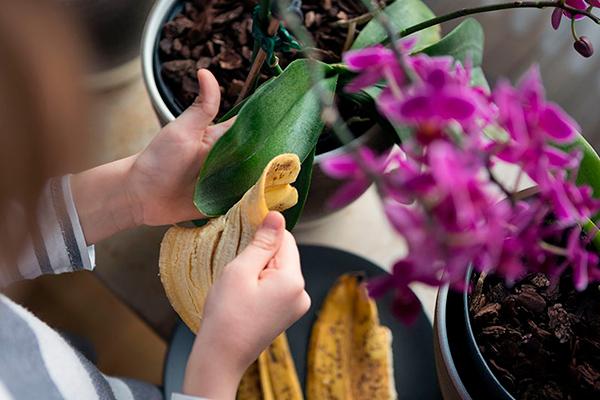 Cáscara de plátano para plantas