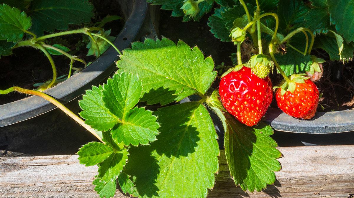 Sembrar fresas en casa
