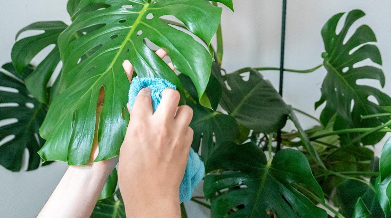 Limpiador casero para plantas