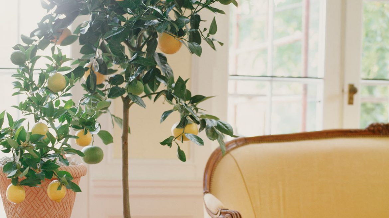 Planta de limón