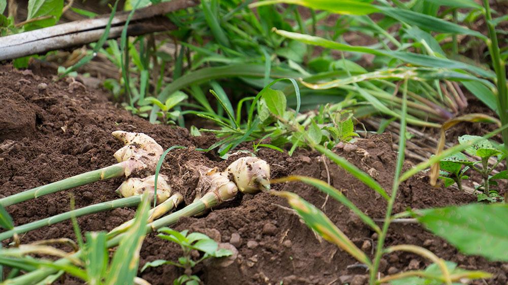 Cómo sembrar jengibre