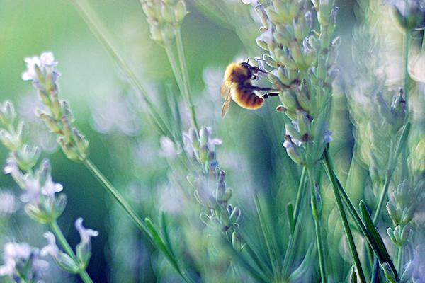 Plantas para abejas: lavanda