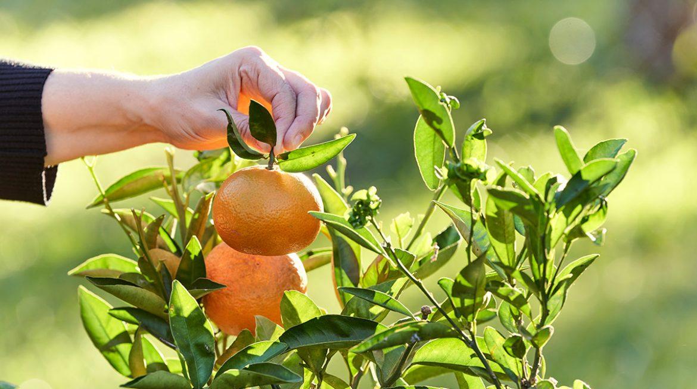 Cómo plantar tu propio árbol de mandarina en casa