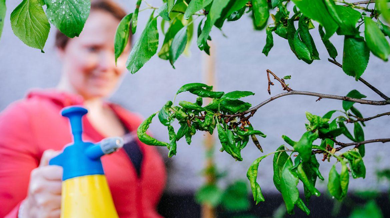 insecticida casero con hueso de aguacate