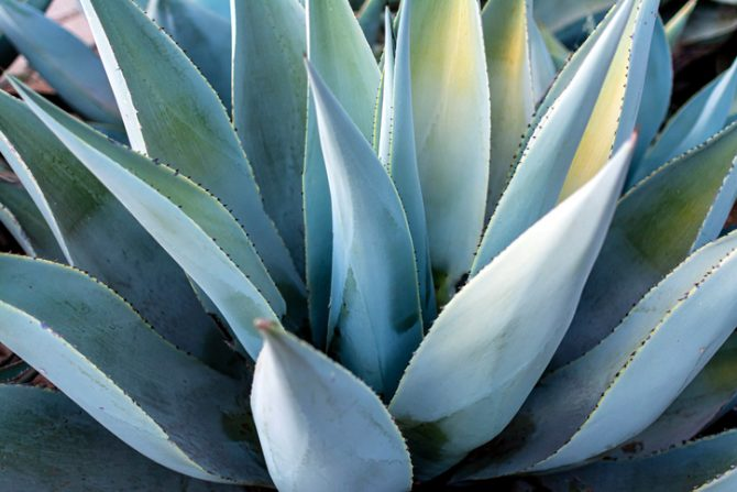 agave azul para hacer tequila