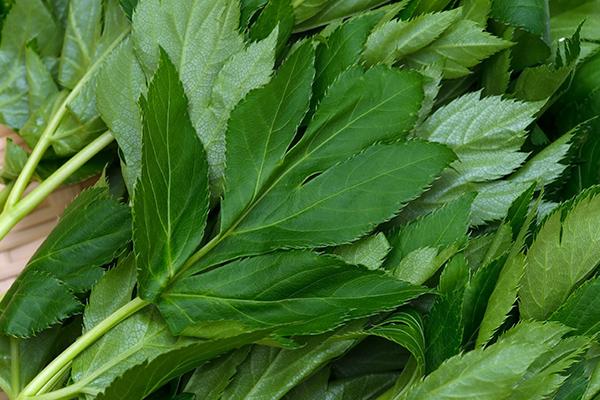 hojas de ashibata