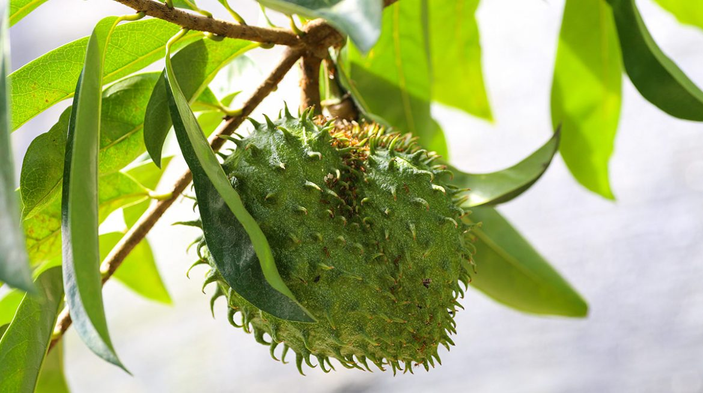 Beneficios de la hoja de guanabana