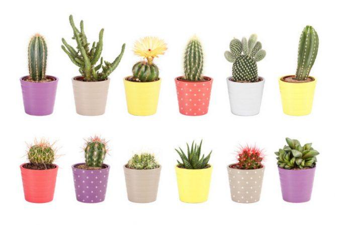 Beneficios de tener un cactus en casa