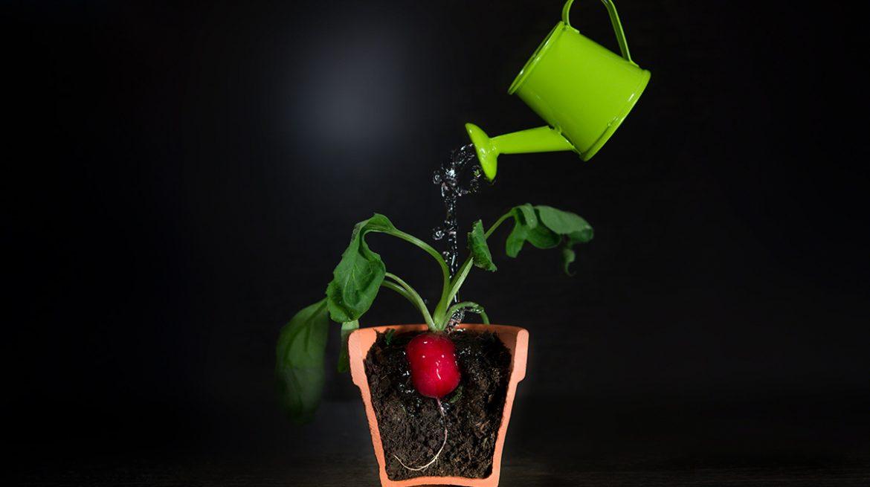como cultivar rabano en casa