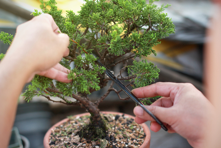 consejos para cuidar un bonsai