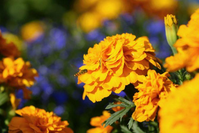 flor de cempasuchil comestible