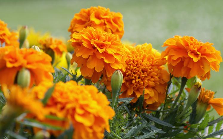 flor de cempasuchil flores comestibles