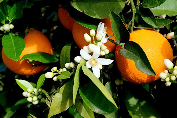 para que sirven las hojas de naranja