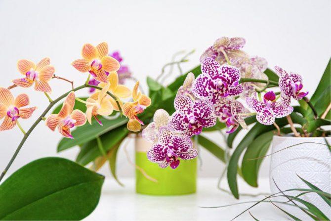 Flores comestibles: Orquídea