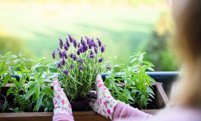 plantas magicas para el hogar lavanda