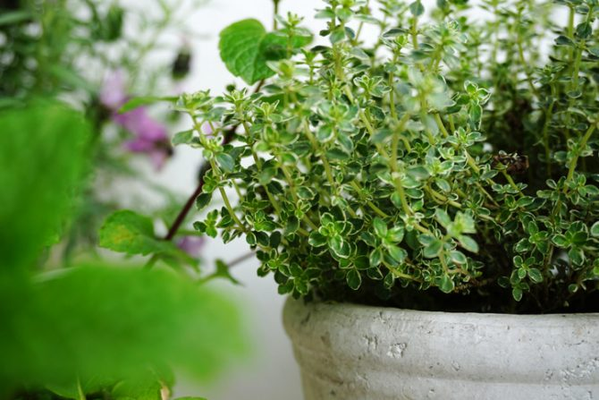 plantas magicas para el hogar tomillo