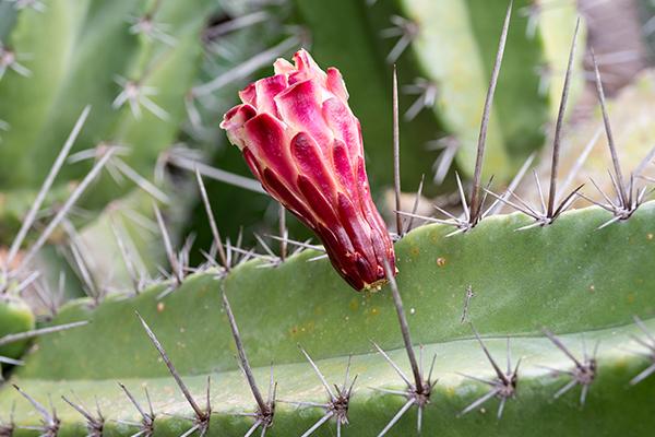 arbol de pitaya mexicana