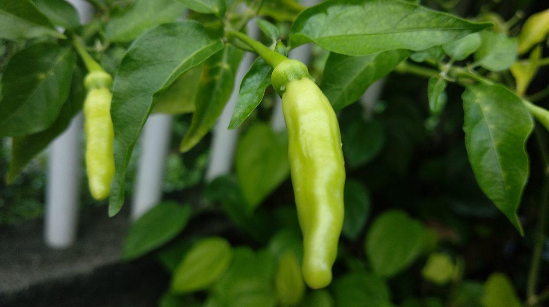 como cultivar semillas de chile serrano