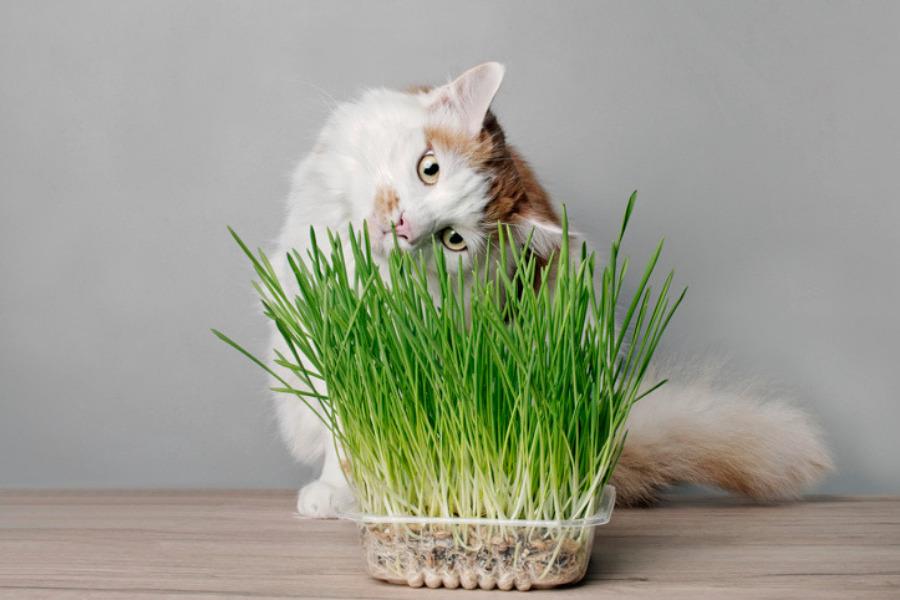 Cómo cultivar hierba para gatos
