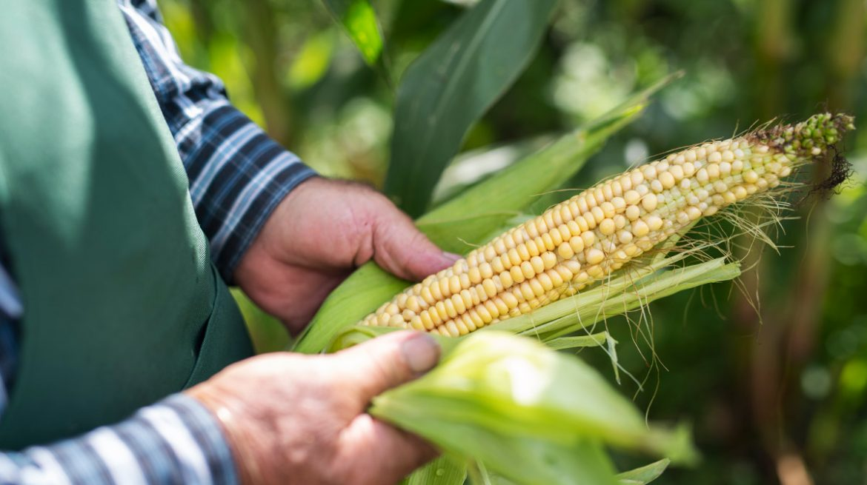 de dónde proviene el maíz