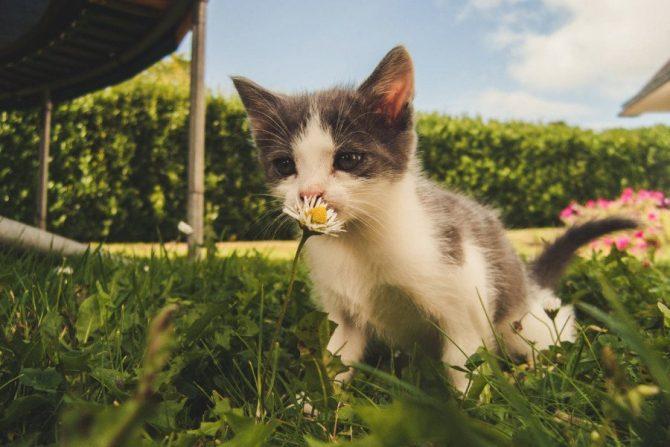 Para qué sirve la hierba para gatos
