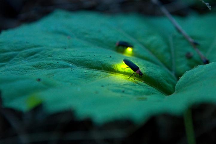 como atraer luciérnagas a tu jardín