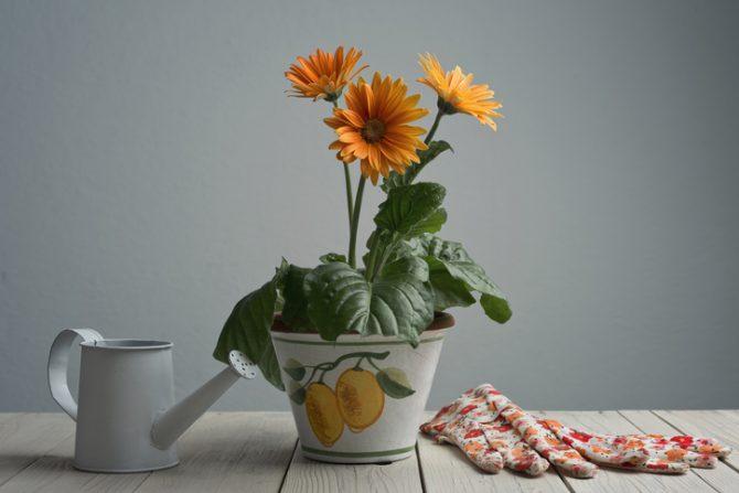 plantas para quitar malos olores en el baño gerbera
