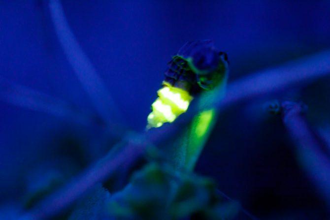 por qué brillan las luciérnagas
